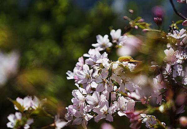 족두리봉을 오르다가 만난 산벚꽃