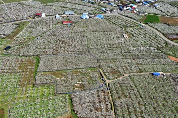 나주시 금천면 배밭 모든 밭들이 배나무로 가득하다