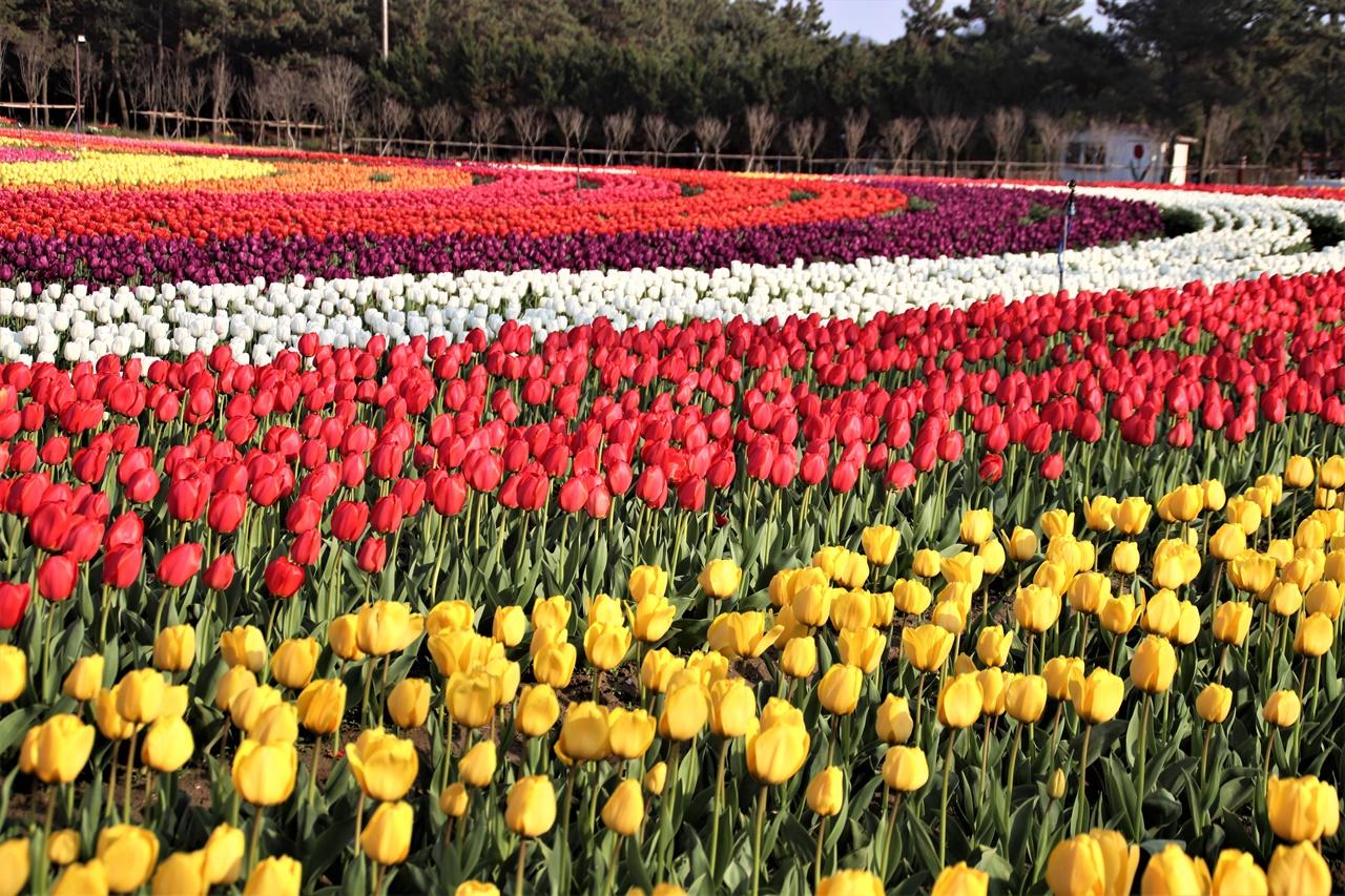 임자도 튤립공원 튤립공원 내 화려하고 멋지고 고운 튤립꽃들이예요. 2019년에 100만송이 꽃들이 축제 손님들을 맞았다고 하는데, 올해는 몇 만 송이가 꽃을 피워냈을지 모르겠네요. 그야말로 거대한 군무와 같은 꽃들이에요.