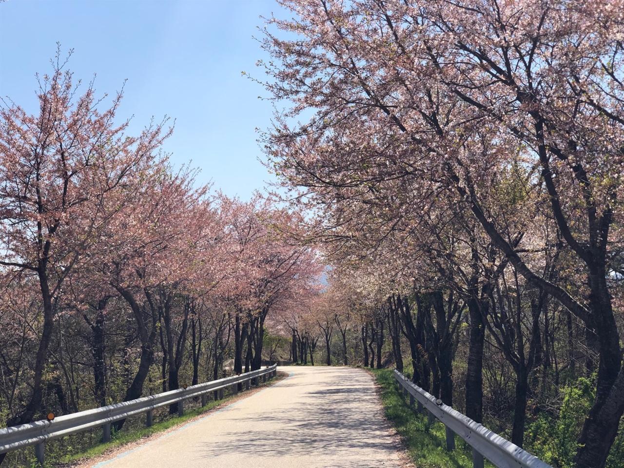 벚꽃 구간 옥정호 드라이브 코스의 벚꽃이 장관이다.