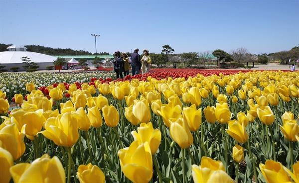 100여종 튤립의 향연 안면도국제꽃박람회가 열린 충남 태안군 안면도의 코리아플라워파크에서는 지난 9일부터 5월 10일까지 태안 세계튤립꽃박람회가 열리고 있다. 사진은 개장 후 1주일이 지난 15일 튤립꽃축제장.