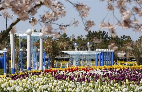 튤립과 벚꽃의 앙상블 안면도국제꽃박람회가 열린 충남 태안군 안면도의 코리아플라워파크에서는 지난 9일부터 5월 10일까지 태안 세계튤립꽃박람회가 열리고 있다. 사진은 개장 후 1주일이 지난 15일 튤립꽃축제장. 벚꽃이 이제 만개하고 있다.