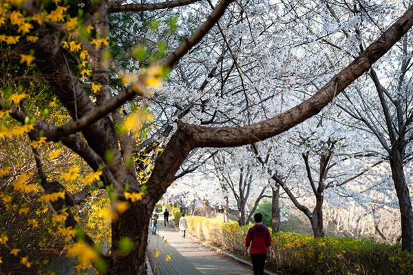몽마르뜨공원 벚꽃길. 서리풀공원 누에다리를 건너자마자 이어지는 벚꽃산책길.