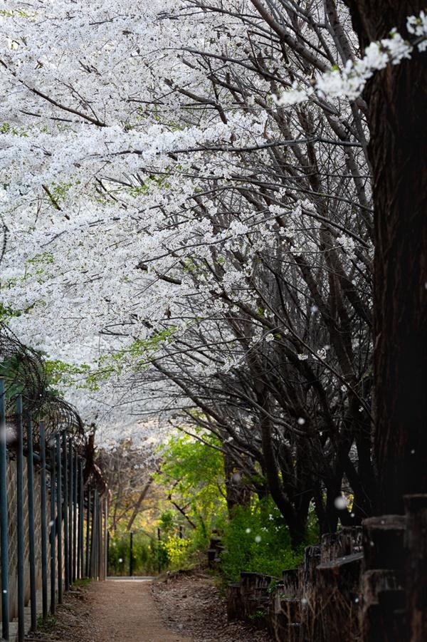 효령대군묘역 벚꽃 터널길. 청권사(효령대군묘역) 담장과 어우러진 벚꽃길.