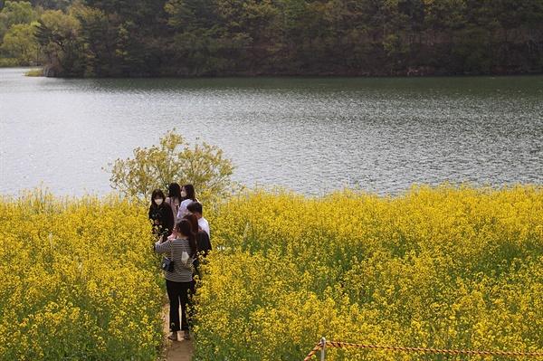 경주 하동저수지 유채꽃밭을 삼삼오오 짝을 지어 거닐고 있는 모습
