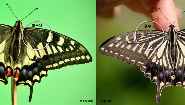 Papilio xuthus 호랑나비