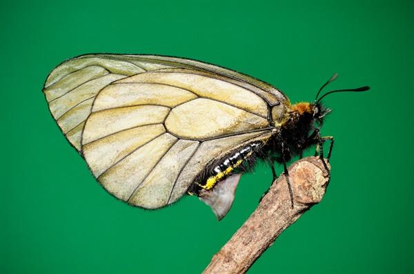 Parnassius stubbendorfii 모시나비
