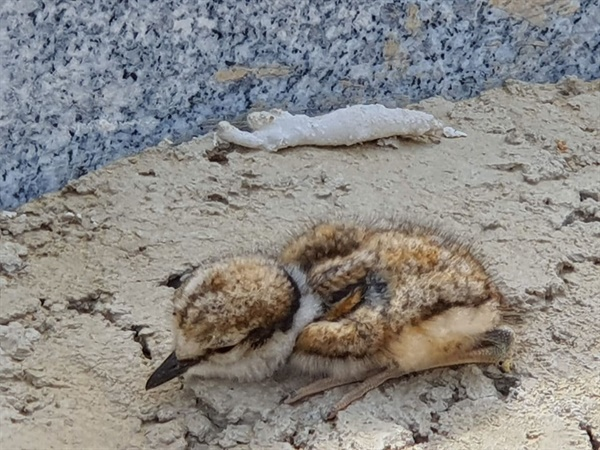 금정산 자락 사송 지구 현장에서 발견된 어린 흰목물떼새.