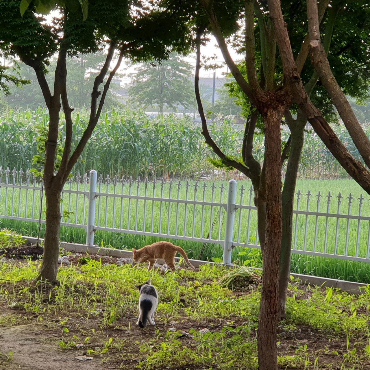 우리가  마당에서 키우는 반려고양이 백미와 땅이 백미와 땅이가 마당에서 어슬렁거리는 모습에 평안을 얻는다.