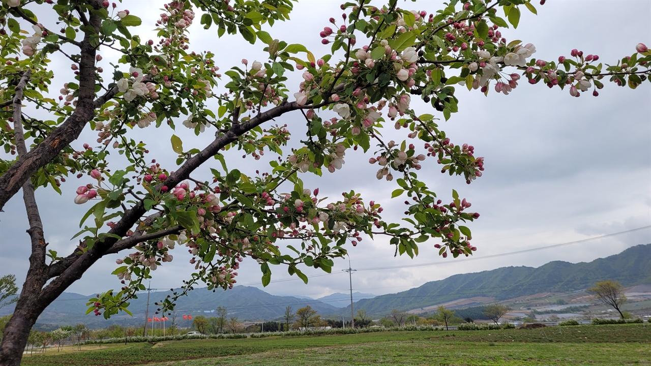 고용하고 평화로운 펀치볼 마을 길가에 서 있는 꽃사과나무가 일행을 반기고 있다