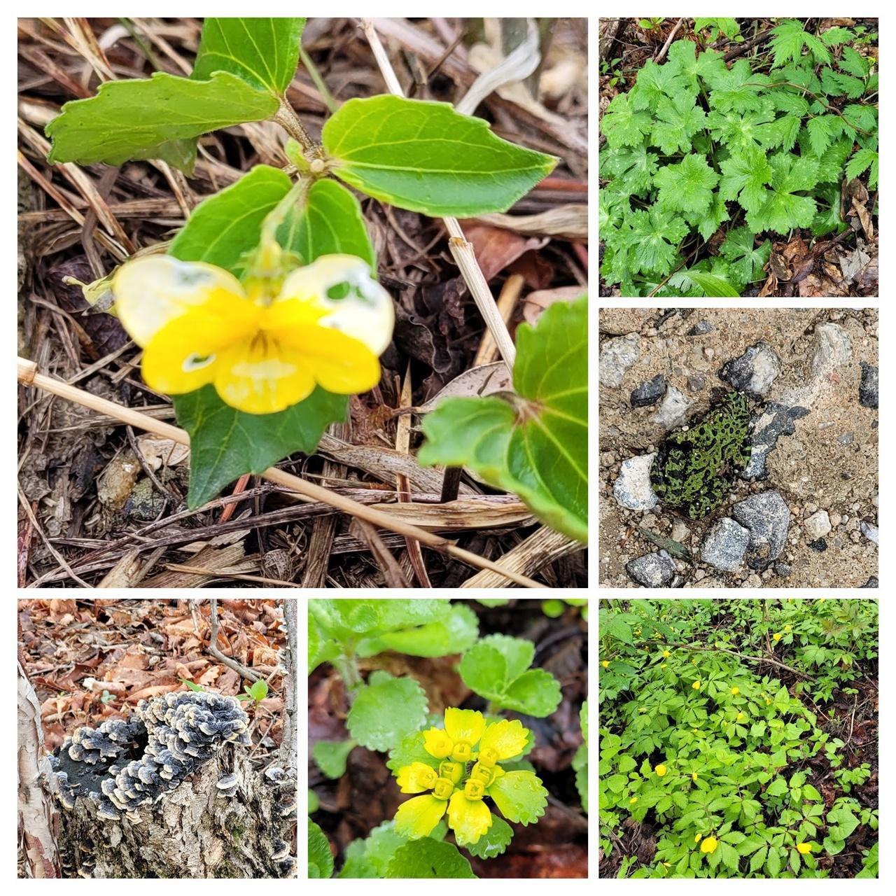 숲길에서 마주하는 생명체 시계 방향으로 제비꽃, 부자, 무당개구리, 피나물, 금괭이꽃, 구름버섯
