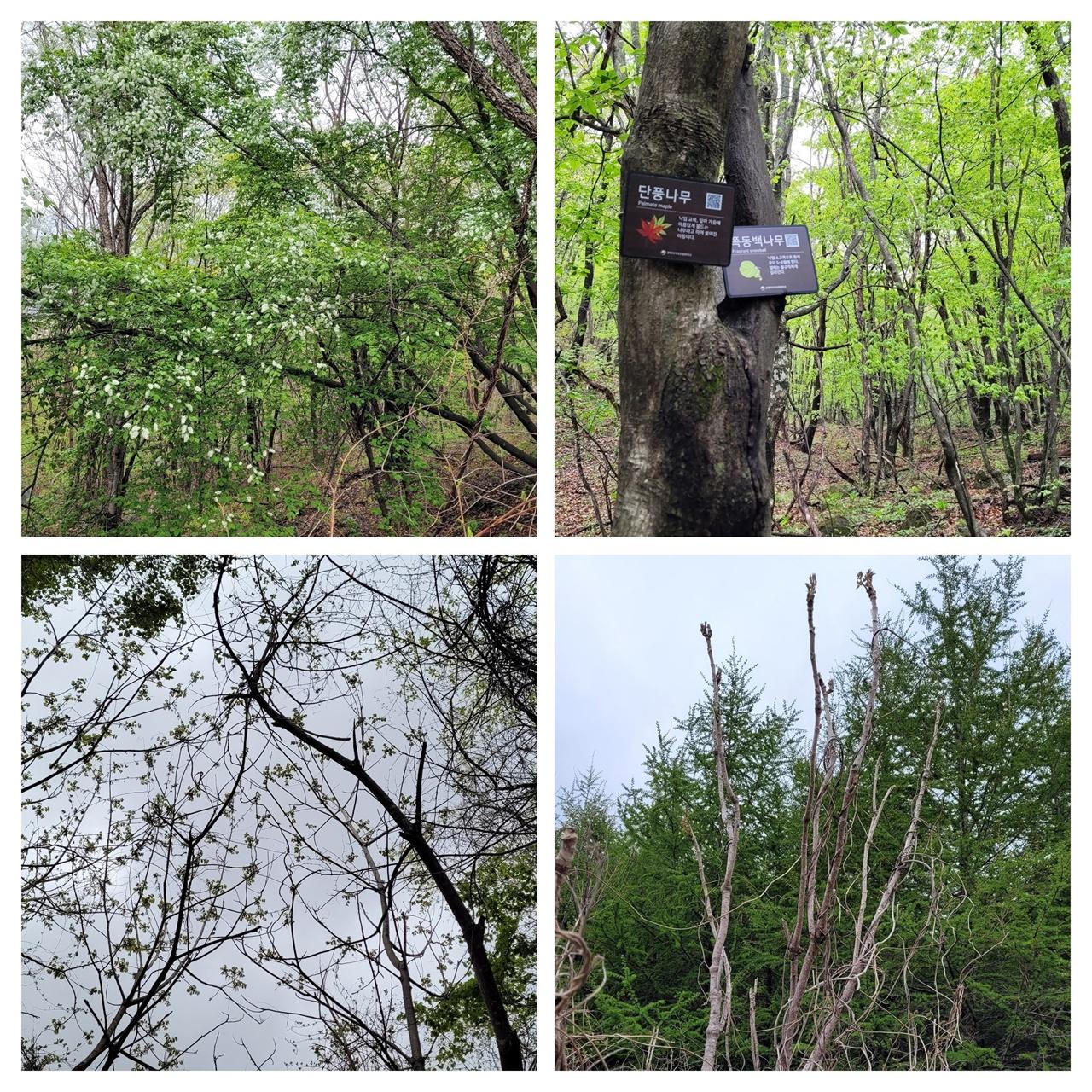 산길에서 만난 나무들 시계 방향으로 귀룽나무, 단풍나무와 쪽동백나무의 합체, 두릅나무, 가래나무