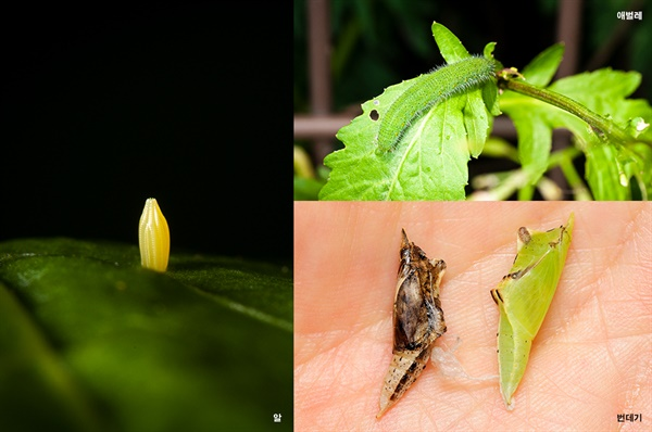 Pieridae 흰나비과