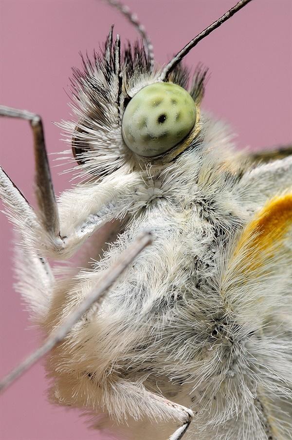 Pieris rapae 배추흰나비
