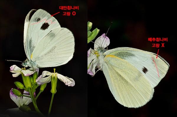 대만흰나비 Artogeia canidia