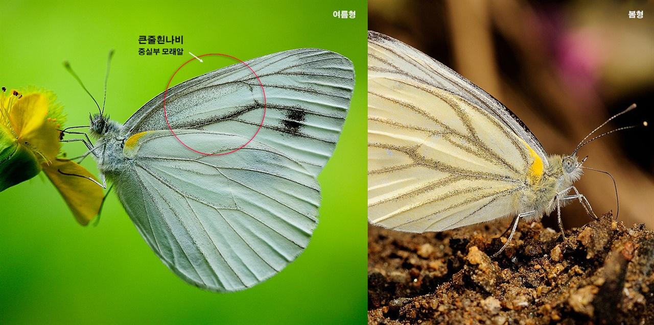 Pieris melete 큰줄흰나비