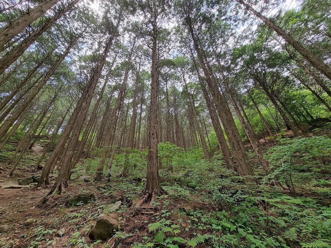 계척마을 편백나무 숲길
