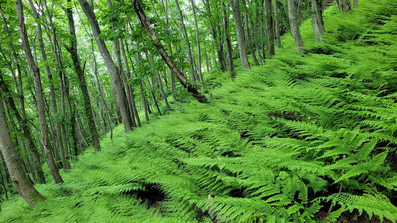 양치류 무리 성인봉으로 오르는 등산로 양옆은 키 큰 고목 사이로 양치식물이 가득 차 있다.