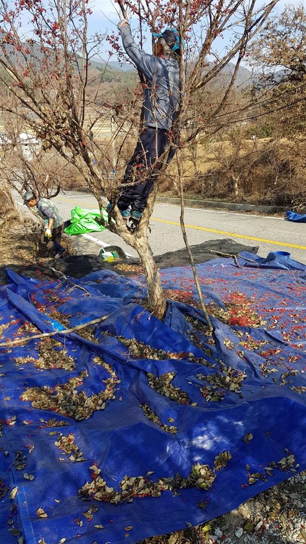 산수유 열매를 맨손으로 수집하는 모습