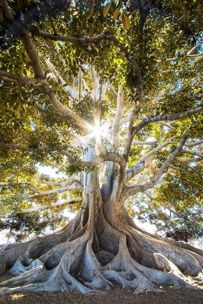 2008년 과학저널 〈네이처〉는 100년 넘은 숲에서 바이오매스 축적량이 급격히 증가한다는 결과를 실었다