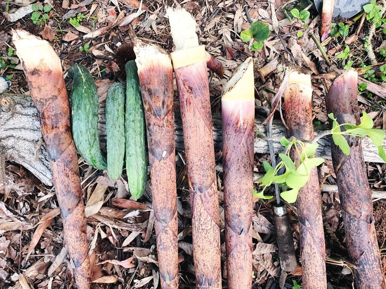 죽순을 수확한 모습 죽순을 수확해서 손질하기 전의 모습입니다. 껍질을 벗기면 뽀얀 죽순의 새살이 보입니다.