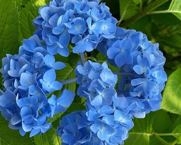 산성 토양에서는 청색 계통의 꽃이 피어나고