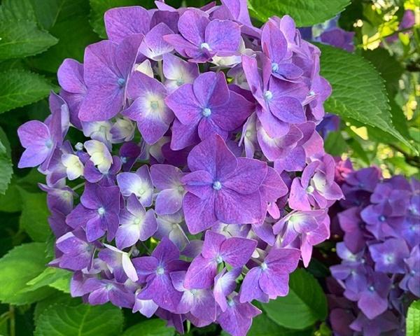 보라색 수국의 또다른 꽃말은 '진심'이라네요
