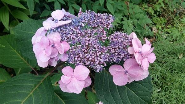 산수국은 진짜 꽃이 피기 전에 가장자리에 진짜보다 크고 화려한 가짜 헛꽃으로 벌과 나비를 유인합니다