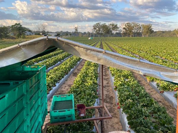 박하정씨가 일하는 딸기 농장 모습