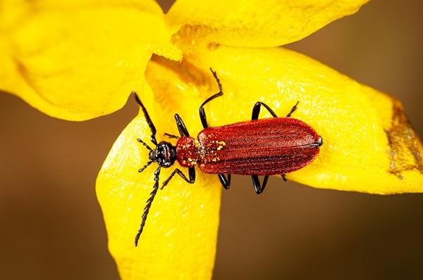 Pseudopyrochroa rufula