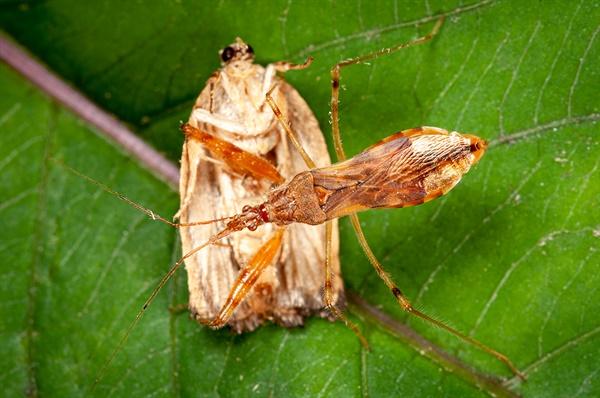 Gorpis brevilineatus