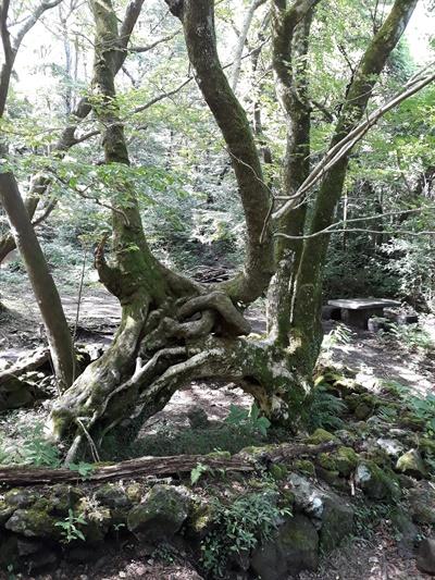 장생의 숲길을 걷다 보면 보기 힘든 연리목을 만날 수 있다. 산벚나무와 고로쇠나무가 서로 맞닿아 한몸이 되었다.