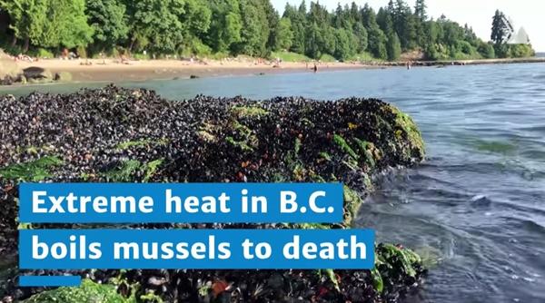 캐나다 벤쿠버에서 기록적인 폭염으로 집단 폐사한 홍합들.