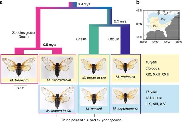 17년과 13년 주기매미 개별 종들의 관계 17년과 13년 주기 매미는 발생하는 주기의 차이일 뿐이며 각각은 유사한 종(species)으로 구성된다