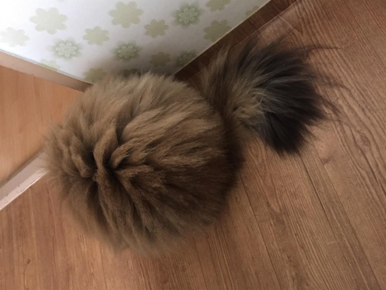 풍성한 고양이 꼬리털 느긋하고 온순한 성격과 귀족의 풍모를 자랑하는 페르시안 고양이