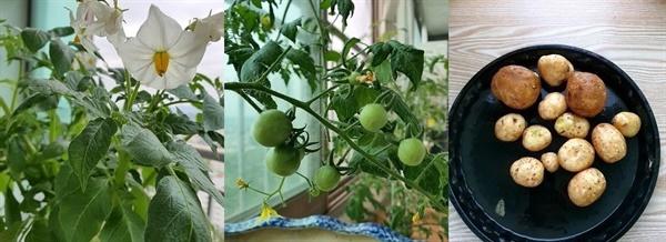 왼쪽부터 감자꽃, 감자 열매, 수확한 감자.