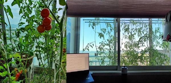데롱데롱 매달린 방울토마토와 내 방 창문 앞 풍경.