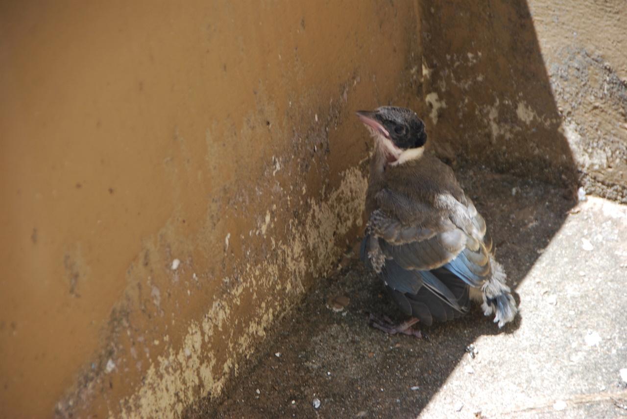 새끼 물까치가 아무 것도 먹지 못한 채 따가운 햇빛을 피해 그늘에 앉아 있다.