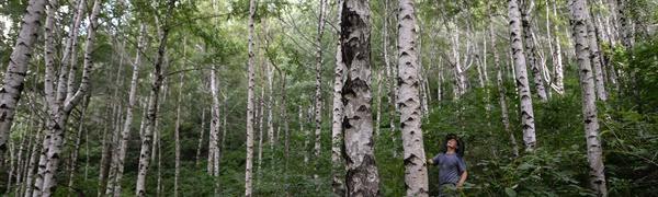 자작나무숲.