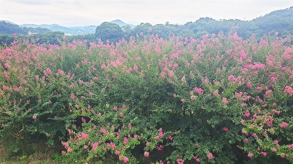 시골 밭에 진분홍 꽃이 활짝 피었다. 온통 주위가 빨갛게 물들었다. 은퇴 후 심은 이 나무때문에 열심히 고향을 찾았다.