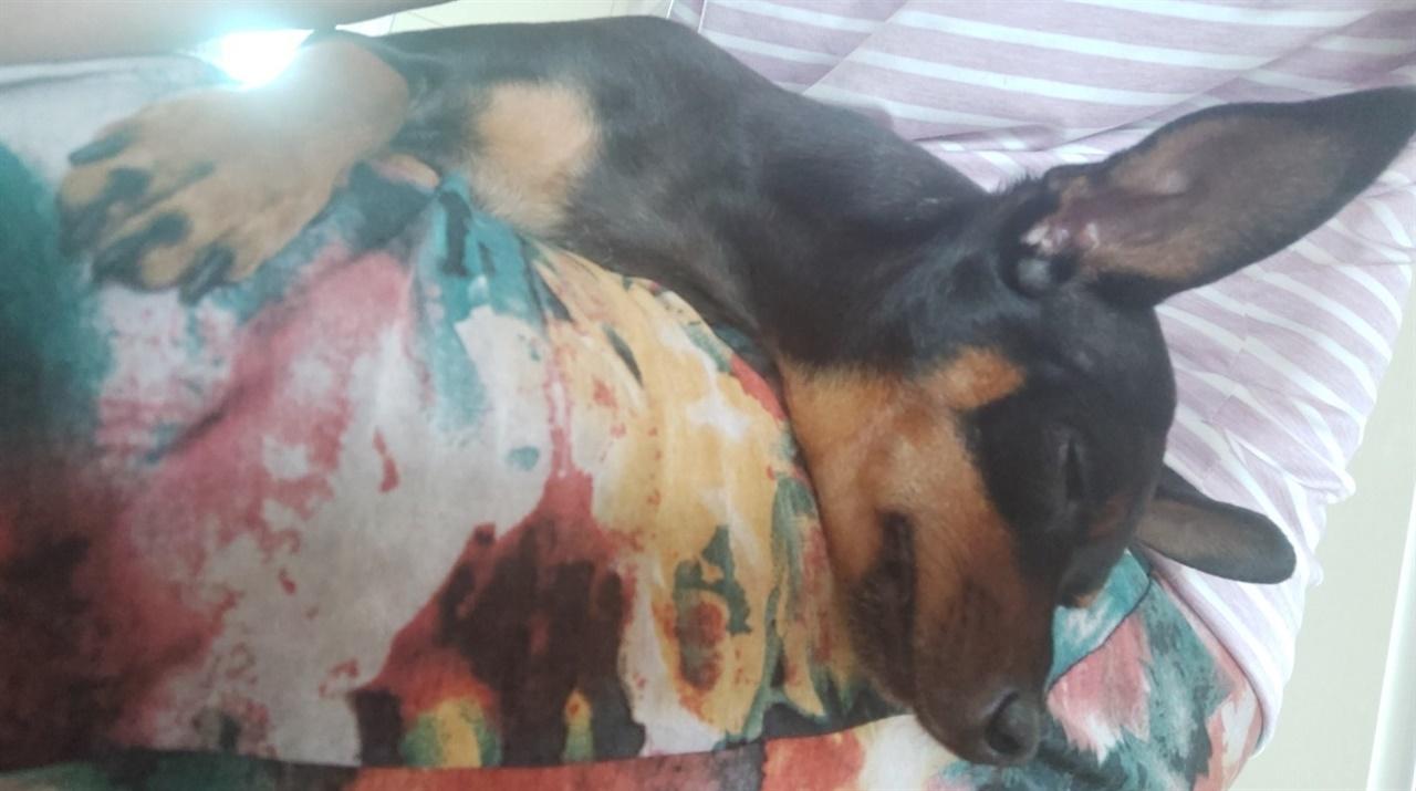 오늘도 어김없이 나의 무릎에서 자고있는 초코의 모습