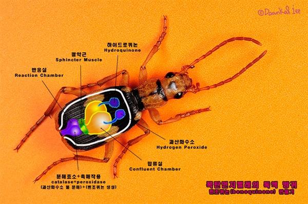 폭탄먼지벌레 독방귀
