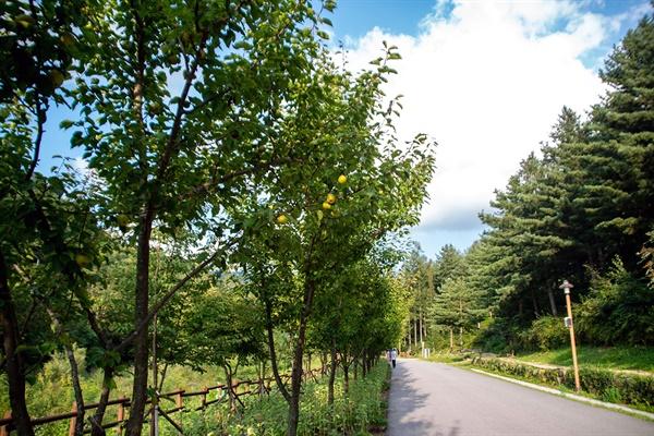 진입광장에서 산 위로 오르는 돌배나무 가로수길.
