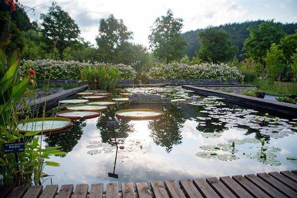 진입광장 근처에 있는 수련정원. 크지 않은 연못인데, 외래종 연꽃이 피어 있었다.