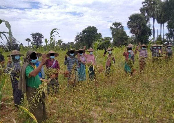 26일 묘띳(마그웨이주) 참깨 농사 짓는 농민들의 군부독재 반대