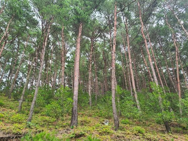 진주 월아산 소나무숲.