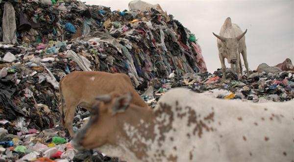 소들이 버려진 옷들을 풀처럼 뜯어먹고 있다. KBS 환경스페셜 <옷을 위한 지구는 없다> 중.