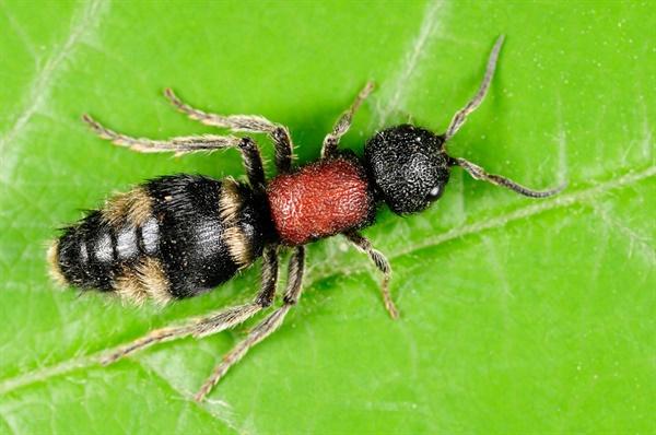 velvet ant, 개미벌