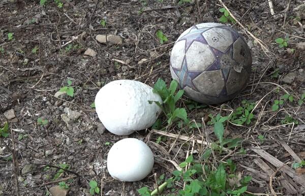 이번에 발견된 4개의 댕구알 버섯은 큰 것은 지름 30cm의 정도, 작은 것은 지름 20cm 정도