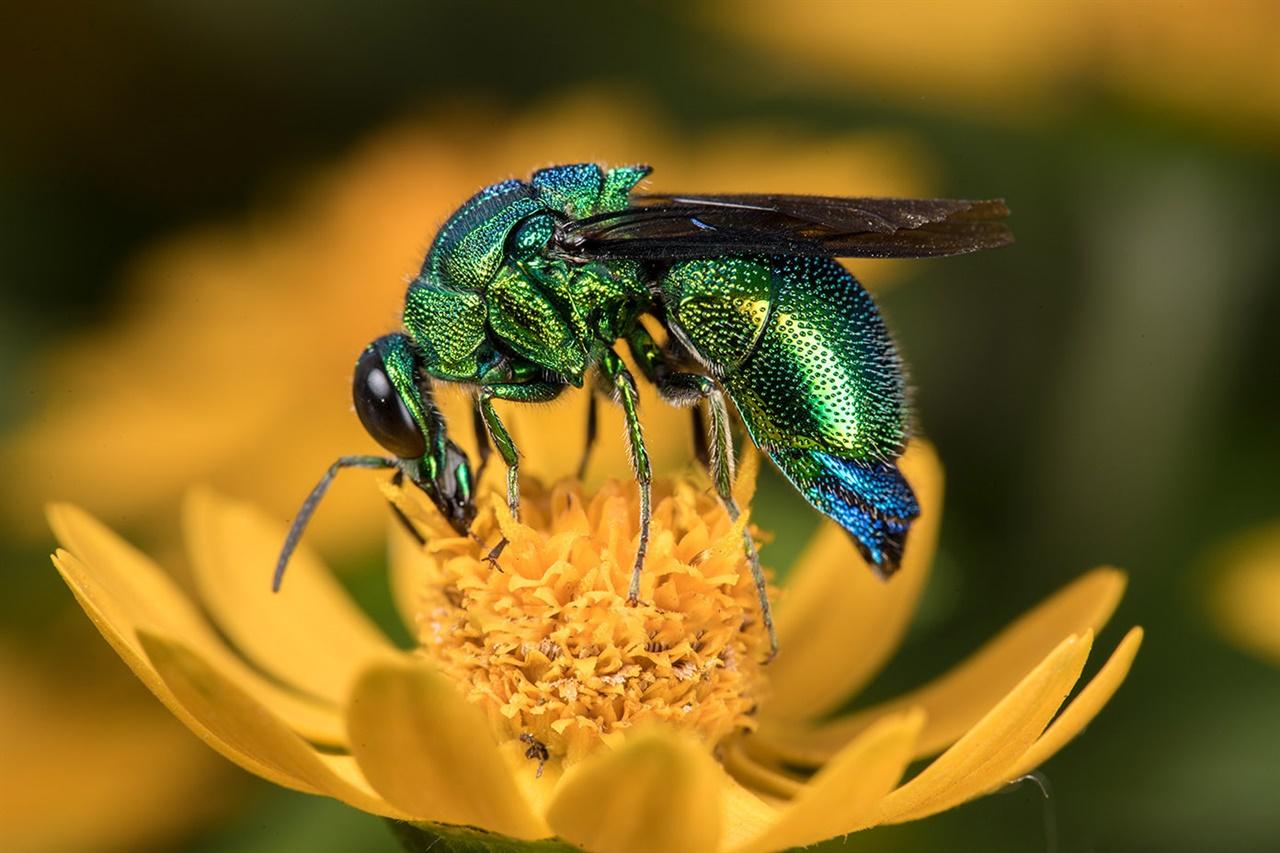 말벌과에 속한 호리병벌과 감탕벌에 기생한다.